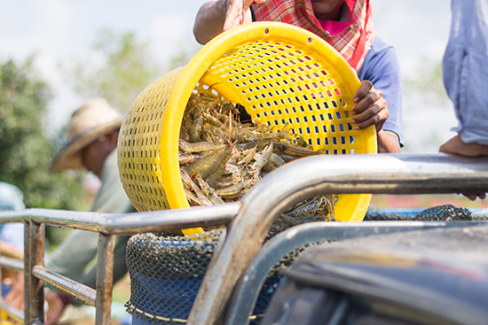 Fishermen pour the shrimp out of the basket into bucket for transportation to sale .